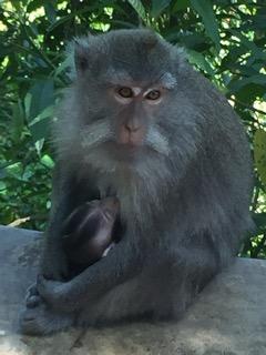 Lombok Monkey