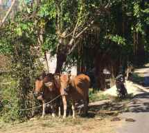 Lombok cows
