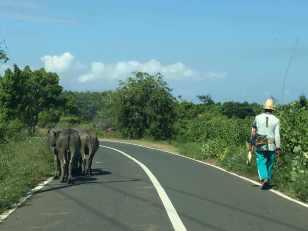 Lombok Buffalo